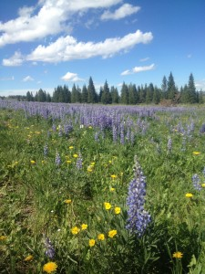 Lupin in BHMtns
